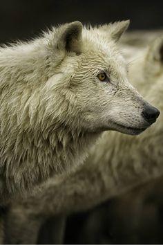 white wolf By Daniel Parent