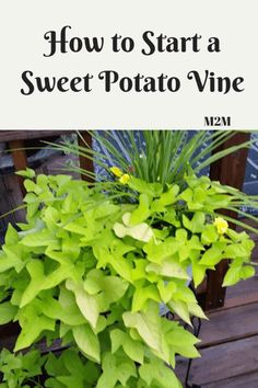 you like sweet potato vines, but don't like the price. You can grow your own. Do you like sweet potato vines, but don't like the price. You can grow your own. Sweet Potato Plant Vine, Potato Vine Planters, Sweet Potato Vines, Organic Vegetables, Growing Vegetables, Growing Tomatoes, Growing Sweet Potatoes, Vine Trellis, Planting Potatoes