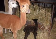 Alpaca Play Pen | Genesee County, NY