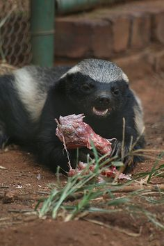 Nature's Psychopath: The Honey Badger.