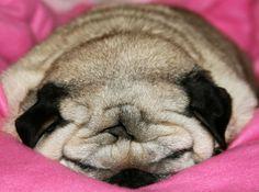 A mess of pug wrinkles.