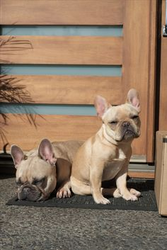 French Bulldogs ❤️
