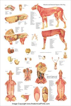 Dog Anatomy Poster