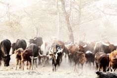 Galleria Gibello Photography | Theme | Nguni | cow-6