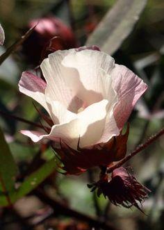 Aggie Cotton Plant