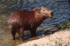 Capivara capybara Hydrochoerus hydrochaeris