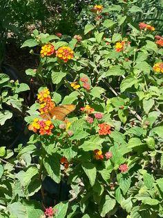 Butterfly exhibition Desert Botanical Garden Phoenix, Botanical Gardens, Herbs, Butterfly, Plants, Free, Herb, Plant, Butterflies