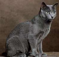 Russian Blue - The fur is gorgeous!!  Looks like Stormy
