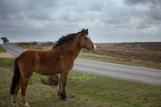 New Forest Pony - Born to roam, everywhere is home. Fine Art Equine Prints. www.lisasaint.co.uk