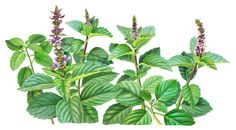 Holy basil painting for Alvita Teas by Paul Mirocha Plant Illustration, Botanical Illustration, Botanical Drawings, Botanical Prints, Tulsi Plant, Plant Painting, Painting Flowers, Little Plants, Top 5