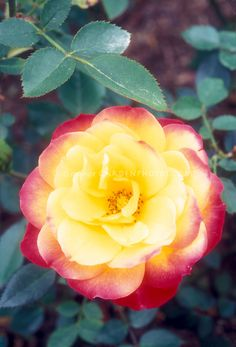 Rosa 'Rainbow's End' miniature roses yellow and orangered Rosa 'Rainbow's End' | Plant & Flower Stock Photography: GardenPhotos.com