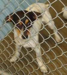 Chet is an adoptable Terrier Dog in Emporia, KS.  ... Rat terrier mix. This guy might have some health issues, we're really not sure. He is very friendly and loving, just shaped a little different.
