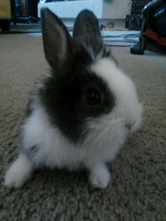 My lion head rabbit BEYONCE @ 3 months