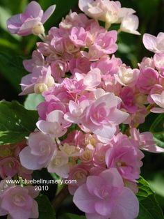 Hydrangea macrophylla 'Hanabi Rose'