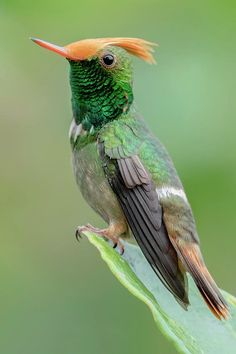 Rufous-crested Coquette - Hummingbir -- by Miguel Siu.