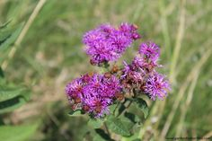 Common Ironweed - Vernonia fasciculata -  100 seeds, Prairie Ironweed - Host Plant for American Painted Lady Butterfly, Fall Garden Color by Garden4Butterflies on Etsy