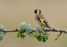 All Newest - Pixdaus   Goldfinch Photo by Dean Mason By: Assen : What a magnificent coloration
