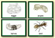 Life Cycles Teaching Resources - Living Things - Animal Life Cycles