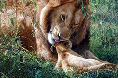 Lions .painting by Terry Isaacs