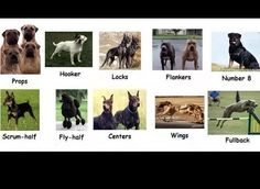 Rugby Positions via dog breeds...I'm in love with a Hooker...hehehe
