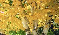 Birch tree fall foliage