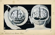 Fritz Kahn: human brain as walnut