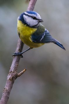 Blue Tit   - by Miguel Angel Aguirre on 500px