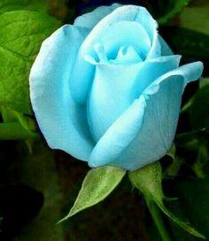 ~A Beautiful teal Rose~