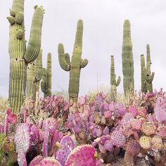 Green and pink cacti