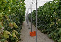 Záhradkári, toto je najlepšia pomôcka pri pestovaní uhoriek: Žiadna chémia na záhrade a dvojnásobná úroda - čaká vás najlepšia sezóna! Outdoor Structures, Plants, Plant, Planets