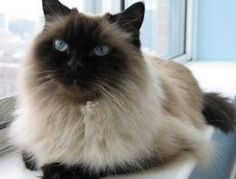 Himalayans are a cross between a Persian cat and a Siamese cat. Looks like my Dutchie but my baby's eyes are a little lighter blue