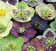 Good Winter Perennial, hearty to zone 3, many varieties bloom in the winter down to zone 6 maybe lower,