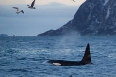 Lapland Whale-Watching Tour from Tromso - Lonely Planet Tromso, Tour Around The World, Around The Worlds, Orcas Swimming, Whale Facts, Adventure Travel Companies, Whale Watching Tours, Norway Travel, Arctic Circle