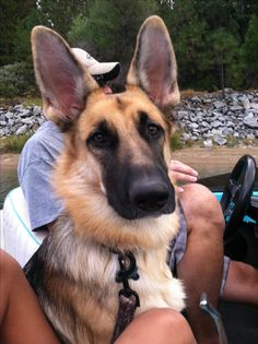 Camping with my German shepherd!! AHHH so excited to do this with our little guy!!