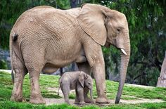 - A mother elephant and her 2-week old daughter.