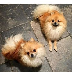 #Repost @marleythepomeranian1  Look who I'm spending my weekend with! My brother @murphy_the_pom !#petstagram #dogsofinstagram #pomeranian #valentina #pomlife #puppylove #puppylife #instadog #puppylover #puppy #dogstagram #pet #pomlover #cancroquis #dog #doglover #pomlove #pomilife #pomerania #love #ritale #lovedog #spitznain #latina #louloudepomeranie #smile #pommylovers #likeforlike