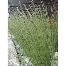 apodasmia lessoniana - oioi Plant Images, Kids Play Area, Modern Landscaping, Grasses, Tropical, Herbs, Landscape, Garden, Plants