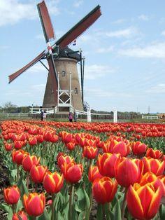 "Netherlands (Holland) Windmills. ""Tip-toe thru the Tulips!!"""