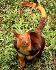 ~~Tree Kangaroo at Currumbin Wildlife Sanctuary | Currumbin, Queensland, Australia by whoops vision~~