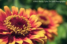 Red and Yellow Zinnia Fine Art Photo Print by BeckyTylerArt