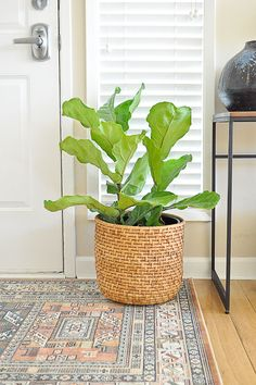 Fiddle leaf fig for a front entryway makeover.