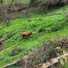 Vaca asturiana. #enamoradodeAsturias