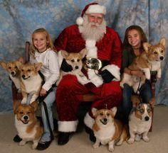 Enough corgis to pull Santa's sleigh