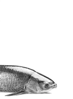 Carp pencil drawing by Nabil Nezzar Carp, Pencil Drawings, Silver Rings, Fish, Black And White, Sketching, Illustration, Logo, Pisces