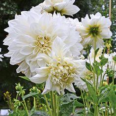 Dahlia White Perfection ist eine Dahlie mit großen weißen Blüten. Perfekt, um dunkle Ecken im Garten aufzuhellen. Pflanzzeit für die Knollen ist im Frühling. Online bestellbar bei www.fluwel.de