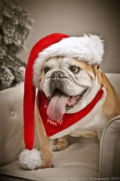 """I'm bursting it's Christmas!"" #dogs #pets #EnglishBulldogs…"