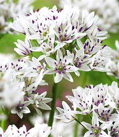 Allium Gracefull: de sierlijke 6-bladige bloemen zijn zo groot als tennisballen. #bloembollen #allium