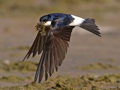 Räystäspääsky (Delichon urbicum) Swallows, Bird Houses, Finland, Natural Beauty, Scenery, Cottage, Birds, Nature, Summer