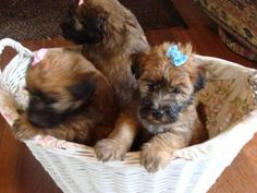 wheaten terrier puppies