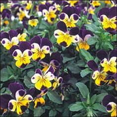 """Flower, Johnny Jump-Up (Viola x williamsiana) (aka Heartsease) Native to Spain and the Pyrenees Mountains. Truly a classic garden flower that never goes out of fashion. Like all violas, can be used as an edible garnish with cheeses or salads. Plants are exceedingly free-blooming from spring through late autumn. Self-seeding biennial, 5-6"""" tall.  Start indoors 10-12 weeks prior to last frost."""